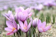 De bloemen van de saffraan stock afbeelding