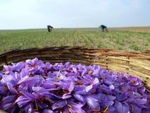 De bloemen van de saffraan in bloei Stock Foto