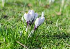 De bloemen van de saffraankrokus Stock Afbeeldingen