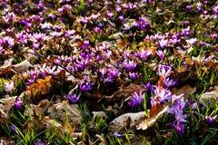 De bloemen van de saffraanweide Stock Afbeelding