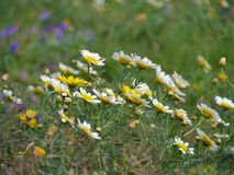 De bloemen van de slingerchrysant stock fotografie