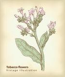 De bloemen van de tabak. Stock Afbeelding