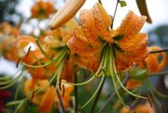 De bloemen van de tijgerlelie Royalty-vrije Stock Foto