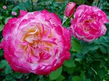 De bloemen van de tuin Rode rozen Stock Afbeelding