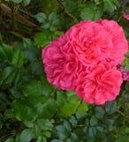 De bloemen van de tuin Roze rozen Stock Afbeelding