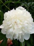 De bloemen van de tuin Witte pioen Stock Foto