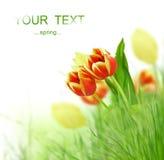 De bloemen van de tulp Stock Foto's