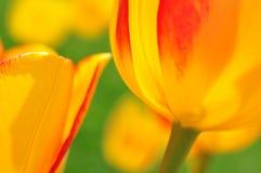 De bloemen van de tulp Stock Afbeeldingen