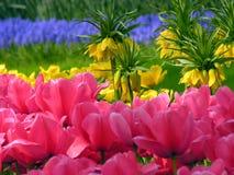 De bloemen van de tulp in bloei Royalty-vrije Stock Afbeelding