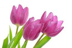 De bloemen van de tulp op het wit stock foto