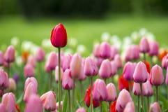 De bloemen van de tulpenlente Royalty-vrije Stock Afbeelding