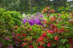 De bloemen van de Varicoloredrododendron op de achtergrond van de de lentetuin Stock Foto's