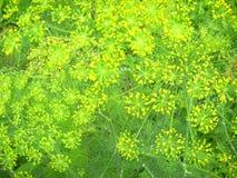 De bloemen van de venkel Stock Foto's