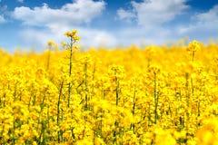 De bloemen van de verkrachting Royalty-vrije Stock Foto