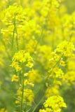 De Bloemen van de verkrachting bij mooie dag (lat. Brassica napus) Royalty-vrije Stock Fotografie