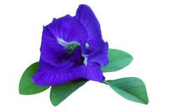 De bloemen van de vlindererwt Stock Foto's