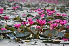 De bloemen van de waterlelie Royalty-vrije Stock Foto's