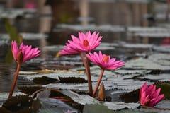 De bloemen van de waterlelie Royalty-vrije Stock Afbeelding