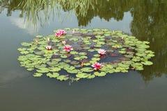 De bloemen van de waterlelie en een kikker Stock Fotografie