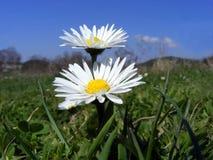 De bloemen van de weide Stock Fotografie