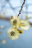 De bloemen van de wilgenlente Stock Fotografie