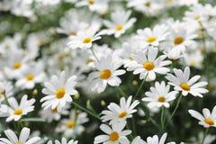 De bloemen van de zomer Stock Afbeelding