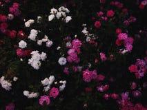 De bloemen van de zomer in de tuin Stock Afbeelding