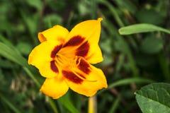 De bloemen van de zomer in de tuin Royalty-vrije Stock Afbeelding