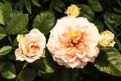 De bloemen van de zomer in de tuin Stock Fotografie
