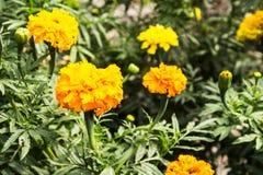 De bloemen van de zomer in de tuin Royalty-vrije Stock Fotografie