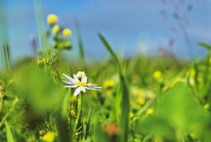 De bloemen van de zomer in gras Royalty-vrije Stock Afbeeldingen