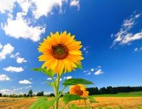 De Bloemen van de zon Royalty-vrije Stock Fotografie