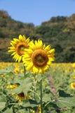 De bloemen van de zon Stock Foto's