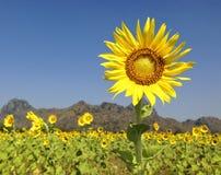 De bloemen van de zon Stock Afbeelding