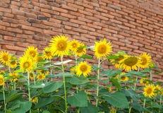 De bloemen van de zon met oude bakstenen stock fotografie