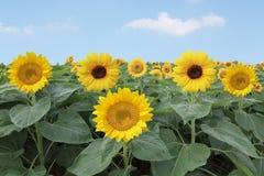 De bloemen van de zonnebloem Royalty-vrije Stock Foto