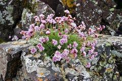 De bloemen van de zuinigheid stock afbeelding