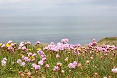De bloemen van de zuinigheid stock afbeeldingen