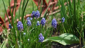De bloemen van de de druivenhyacint van de lentemuscari stock footage