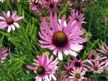 De bloemen van Echinacea Royalty-vrije Stock Foto's