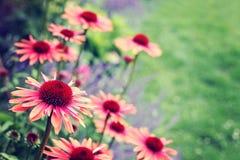 De bloemen van Echinacea Stock Afbeeldingen