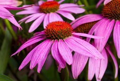 De bloemen van Echinacea Royalty-vrije Stock Afbeeldingen