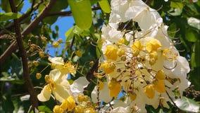 De bloemen van een geel-witbloesem van kassieboom bakeriana of het wensen van boom op zijn tak met groene bladeren slingeren in e stock videobeelden