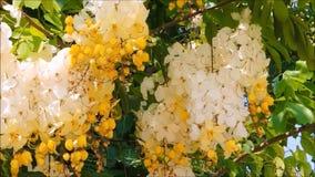 De bloemen van een geel-witbloesem van kassieboom bakeriana of het wensen van boom op zijn tak met groene bladeren slingeren in e stock footage