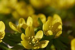 De Bloemen van Eranthis Royalty-vrije Stock Afbeeldingen
