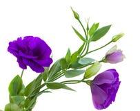 De bloemen van Eustoma royalty-vrije stock fotografie