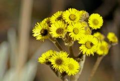 De bloemen van Frailejon Stock Fotografie