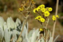 De bloemen van Frailejon royalty-vrije stock afbeeldingen