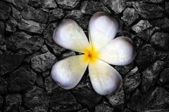 De bloemen van Frangi en rotsmuur Stock Afbeeldingen
