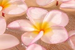 De bloemen van Frangipane Stock Afbeelding